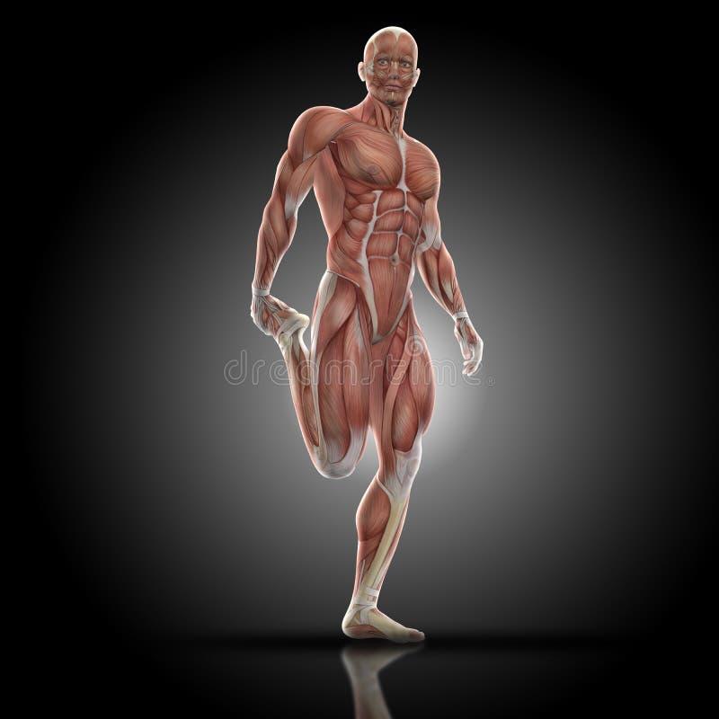 3D Rinden De Una Figura Médica Con El Mapa Del Músculo Que Hace ...