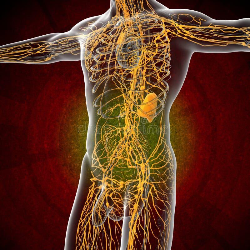 3d rinden el ejemplo del sistema linfático masculino libre illustration