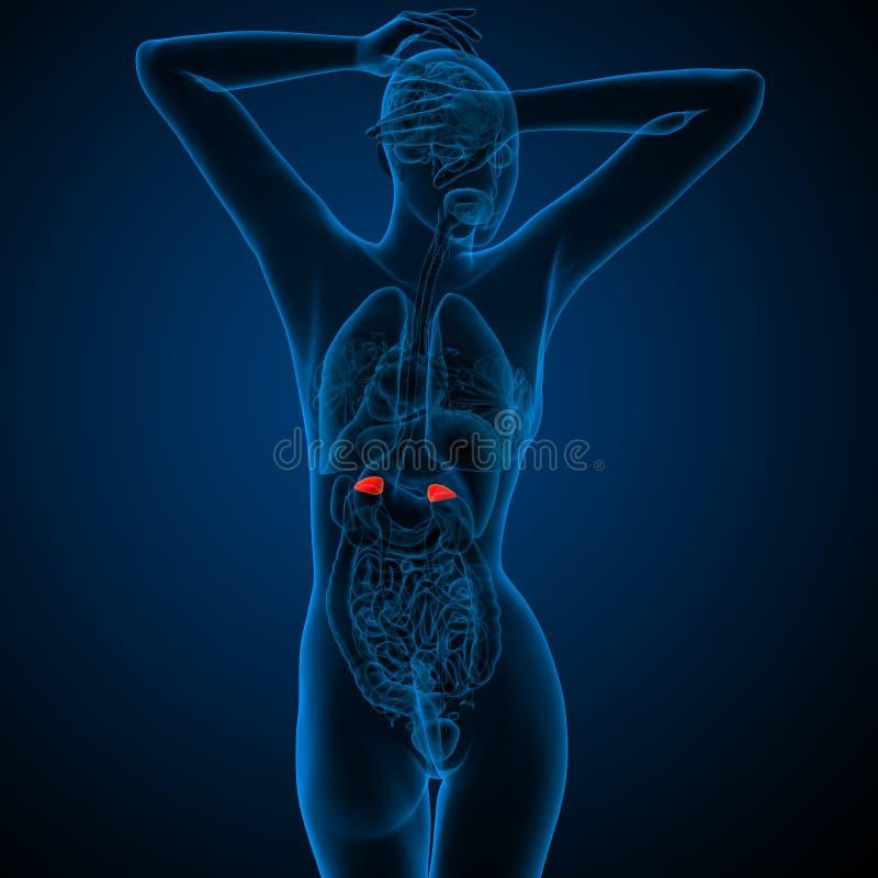 3d rinden el ejemplo médico de las glándulas suprarrenales humanas libre illustration
