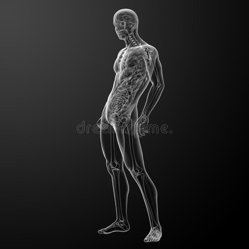 3d Rinden La Anatomía Humana Stock de ilustración - Ilustración de ...