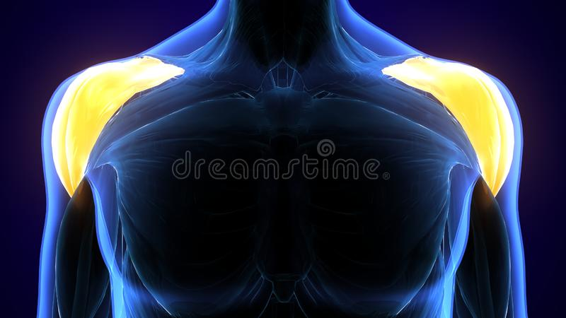 3d rindió, ejemplo médicamente exacto del deltoideo libre illustration