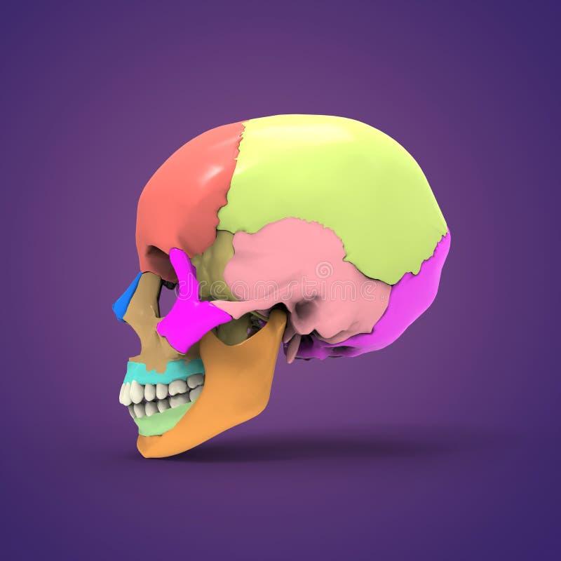 Vistoso Cráneo Anatomía 3d Colección - Anatomía de Las Imágenesdel ...