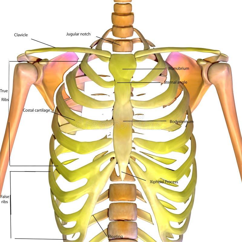 Excepcional Foto De Costillas Del Cuerpo Humano Ideas - Anatomía de ...