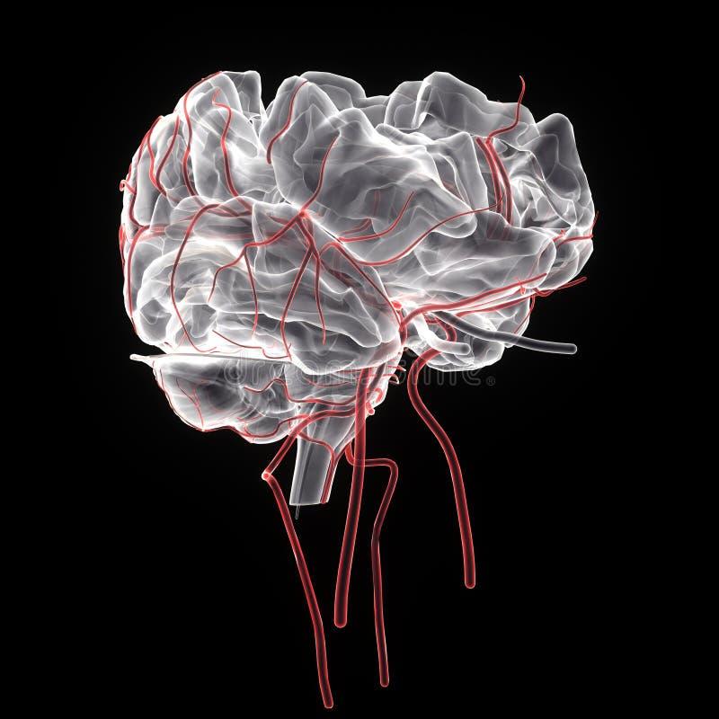 3d rindió el ejemplo médicamente exacto de la anatomía del cerebro libre illustration
