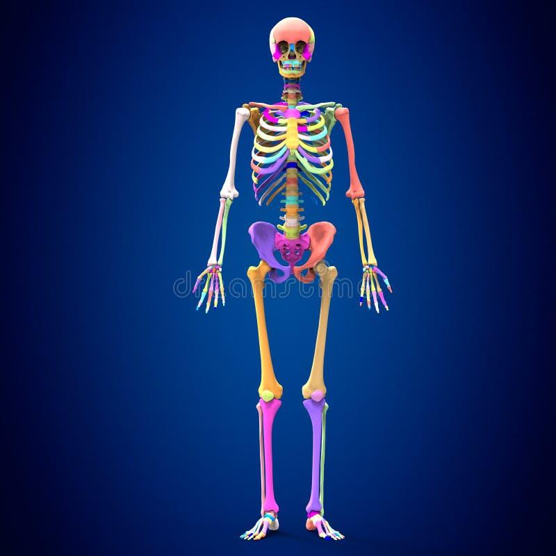 3d rindió el ejemplo médicamente exacto de la anatomía esquelética libre illustration