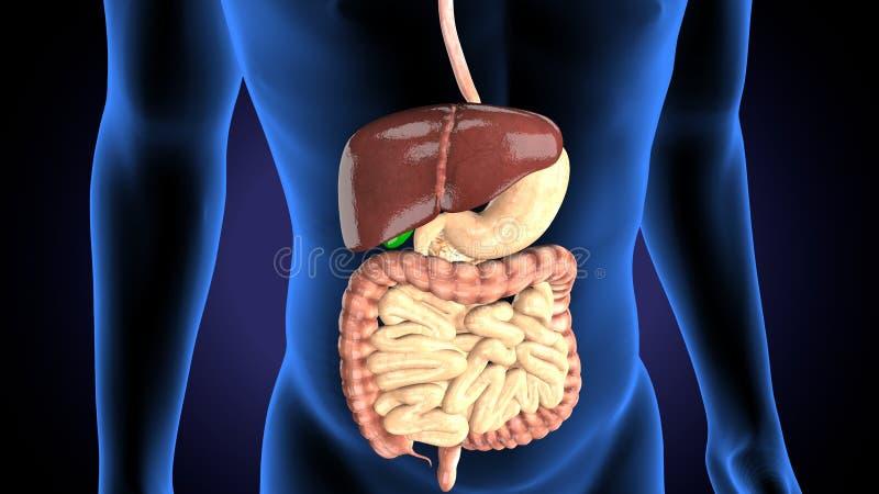 3d rindi? el ejemplo m?dicamente exacto de a sirve el sistema digestivo stock de ilustración