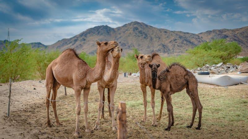 D?sert adorable de Live In A de chameau photographie stock libre de droits