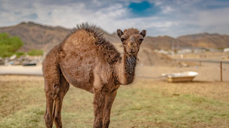 D?sert de Live In A de chameau images stock