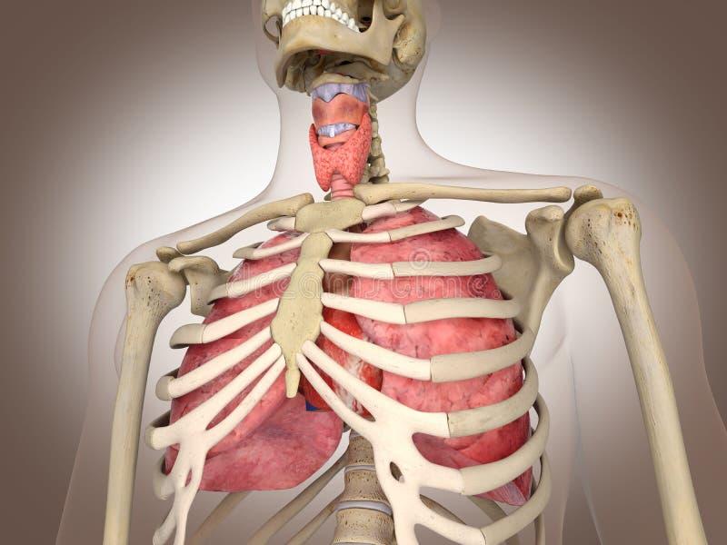 3D som framför det inälvs- inre organet stock illustrationer