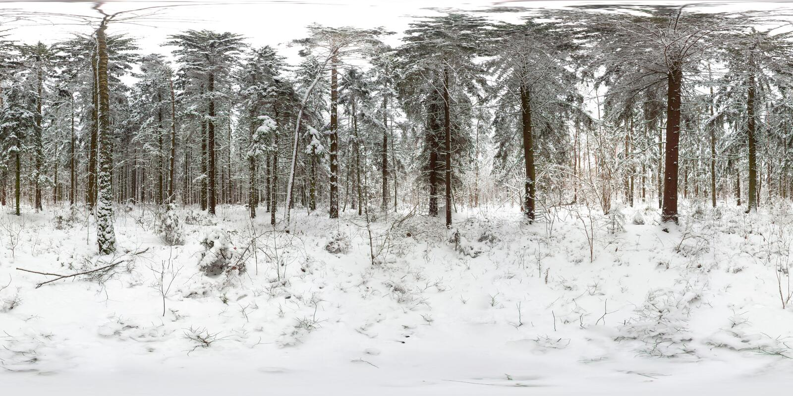 3D spherical panorama of winter forest with snow and pines with 360 degree viewing angle. Ready for virtual reality in vr. Full. Full equirectangular projection royalty free stock images