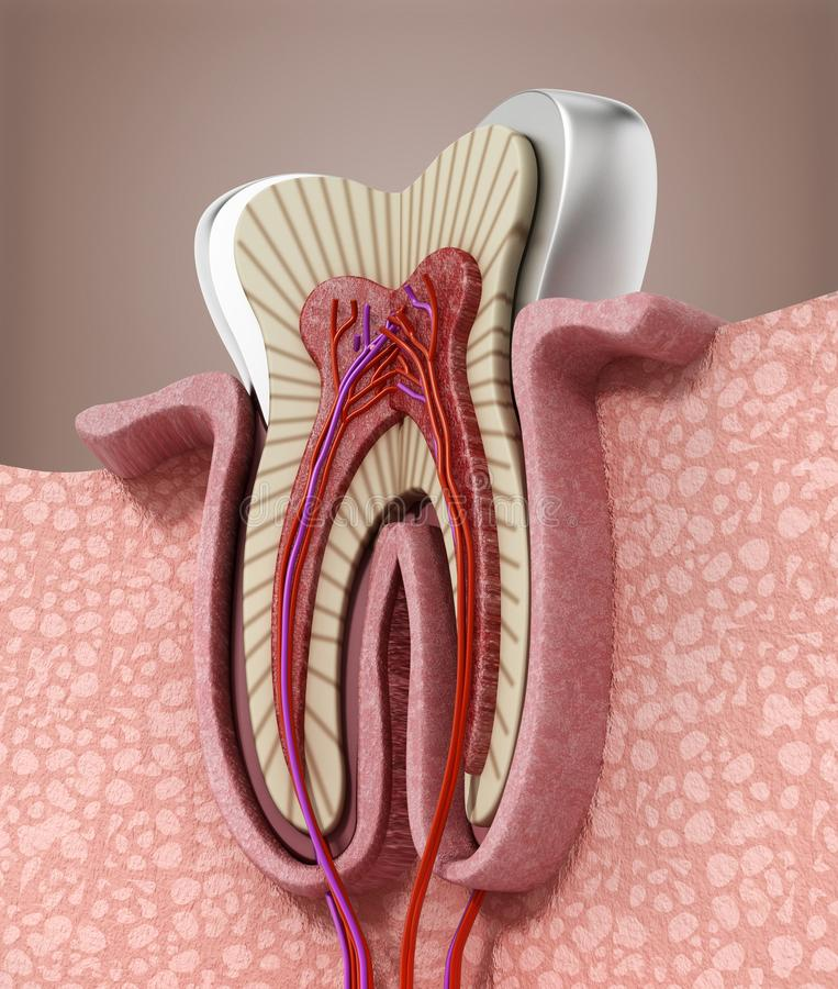 3D structure of a human tooth. 3D illustration.  vector illustration
