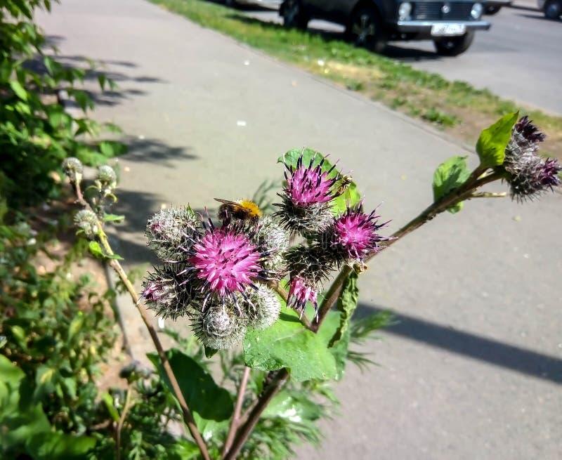 D?tail d'abeille dans l'abeille latine de miel d'api Mellifera, europ?en ou occidental se reposant sur la fleur violette ou bleue photo stock