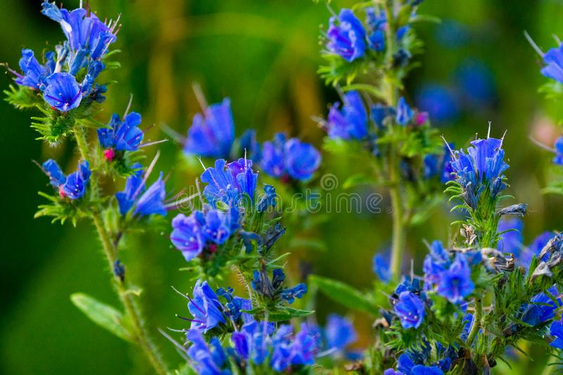 D?tail de la for?t de fleur de jacinthe des bois - photo avec la basse profondeur du champ image stock