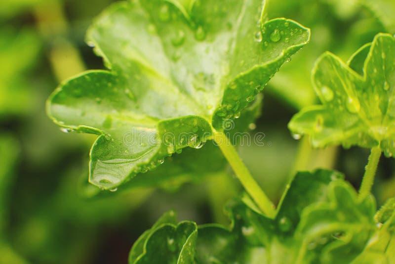 d?tail de nature Fond vert de texture de feuille, feuille verte dans le jardin avec des gouttelettes de l'eau le concept mettent  photographie stock libre de droits