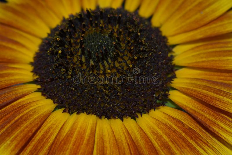d?tails de tournesol images stock