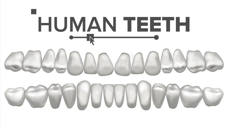Human Teeth Set Vector. Dental Health. Incisor, Canine, Premolar, Molar Upper, Lower. Clean White Tooth. Periodontal vector illustration