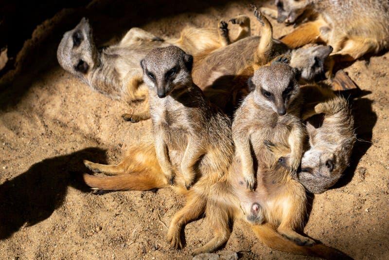 D?tendez de la famille sauvage de suricatta de Suricata de Meerkat d'Africain Certains dorment et les autres appr?cient le soleil photo stock