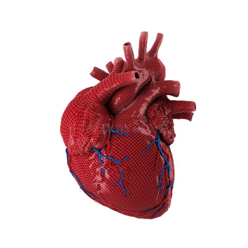 3d teruggegeven menselijk hart stock foto