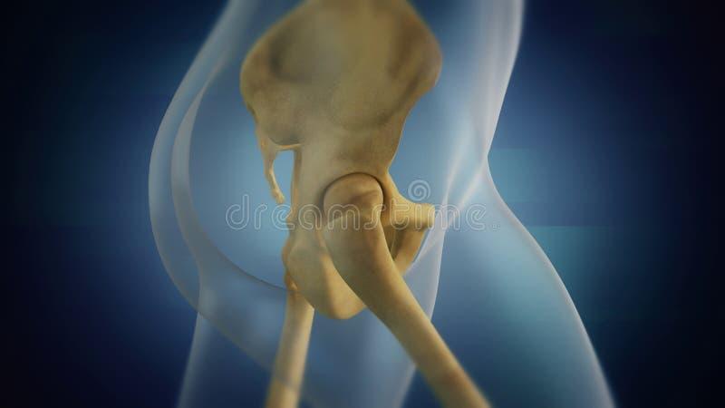 Human skeleton pelvic area visualization. Right side. 3D visualization of the female skeleton pelvic area vector illustration