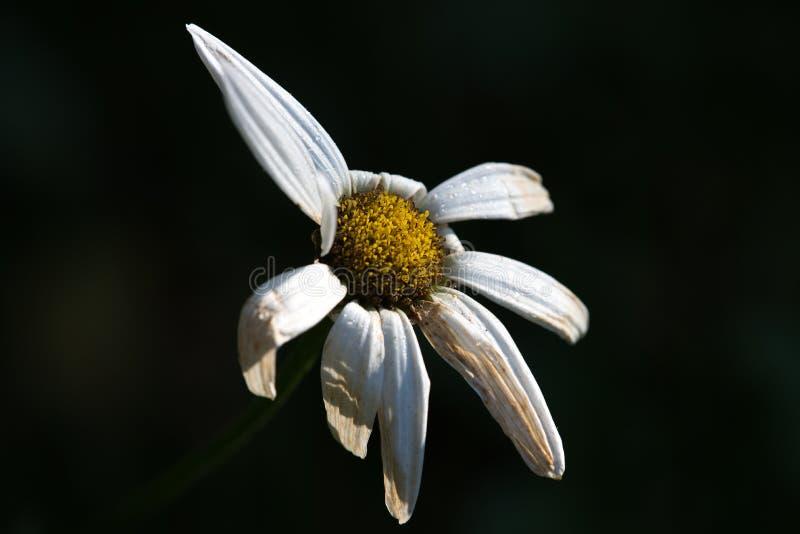 Daño de la sequía a la flor de la margarita imagen de archivo