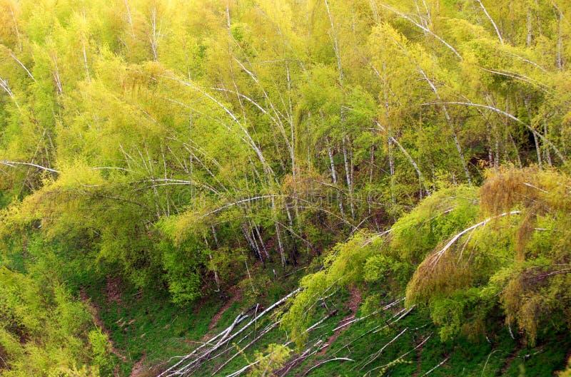 Daño de la tormenta en bosque foto de archivo
