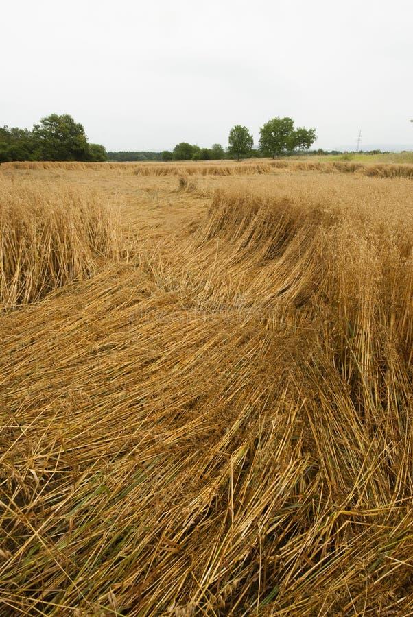 Daño en el campo de maíz, Alemania de la cosecha fotografía de archivo