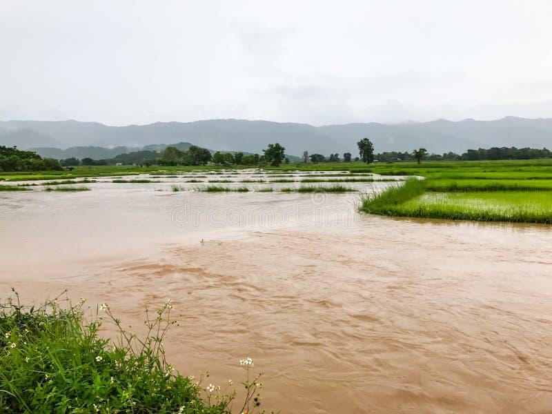 Daño inundado del campo del arroz de la agricultura foto de archivo