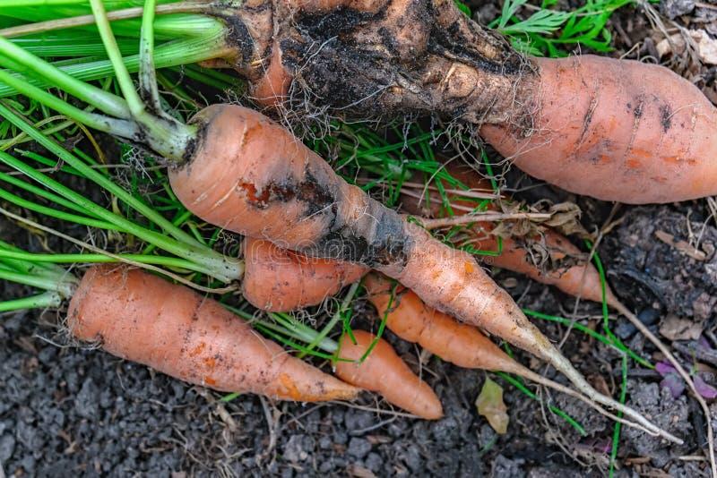 Daño a las zanahorias causadas por la larva de la mosca de la zanahoria Proteja a los parásitos del jardín imagen de archivo