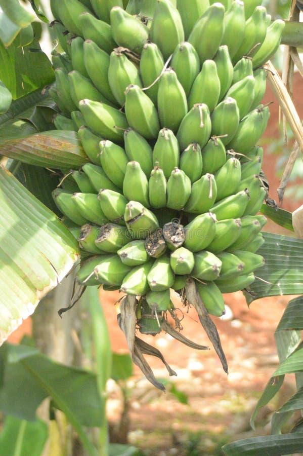 Da banana crescimento ainda imagem de stock