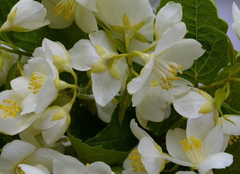 Da beleza floral da cereja da pétala da flora do verão da folha do close up das flores da cor da maçã da estação do ramo do teste fotos de stock