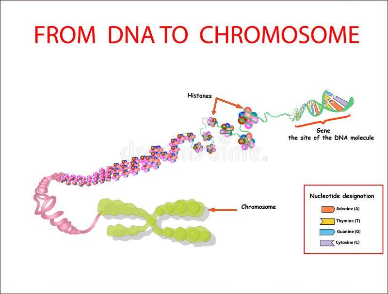 Da DNA al cromosoma sequenza del genoma Telo mero è una sequenza di ripetizione del DNA a doppia elica situata all'estremità di c illustrazione vettoriale