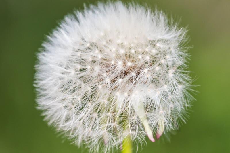Da flor macro da flor da cabeça da semente do dente-de-leão do Blowball sp branco do verde imagem de stock royalty free
