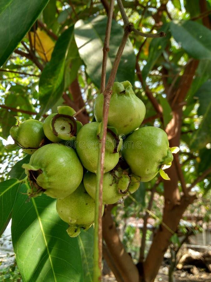 Da fruto el indonesio imagen de archivo
