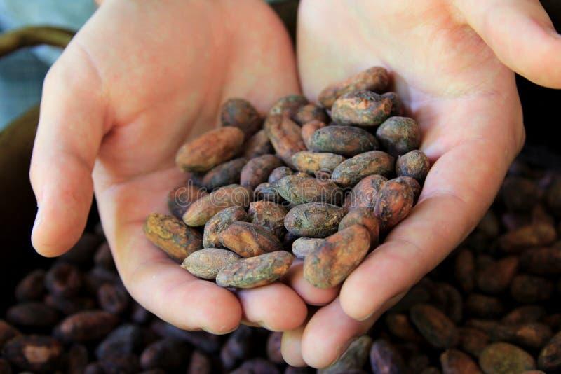 Da habas del cacao que sacan con pala fotografía de archivo