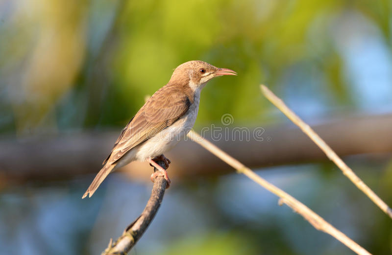 Da Honeyeater sostenuto da Brown, parco nazionale di Daintree, Queensland fotografia stock libera da diritti
