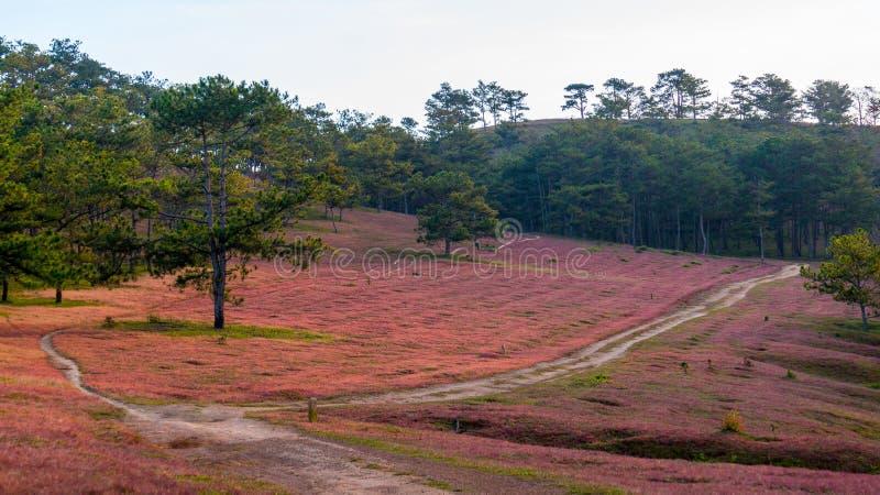 DA lat, lam dong, februari, 2017 van Vietnam 12: Het beautyful landschap van de stad van DA lat, pinkgrass handelt op de pijnboom stock foto