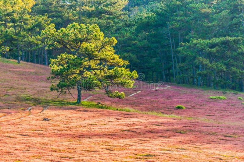 DA lat, lam dong, februari, 2017 van Vietnam 12: Het beautyful landschap van de stad van DA lat, pinkgrass handelt op de pijnboom stock afbeelding