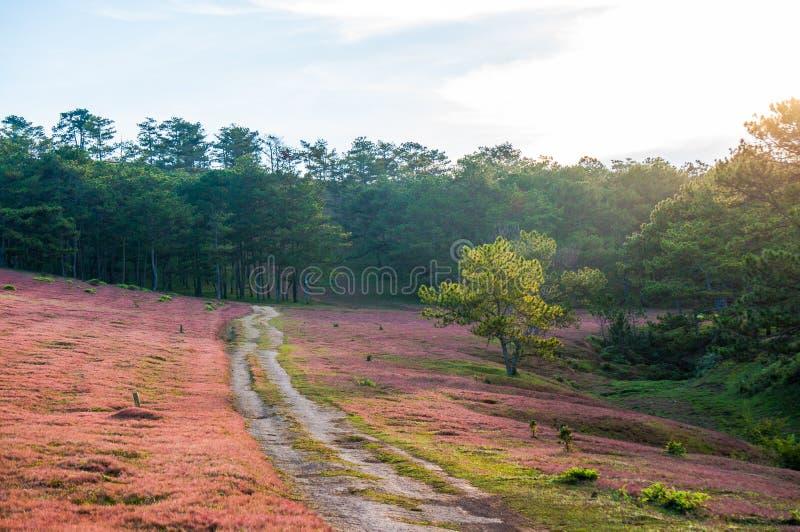 DA lat, lam dong, februari, 2017 van Vietnam 12: Het beautyful landschap van de stad van DA lat, pinkgrass handelt op de pijnboom royalty-vrije stock foto's