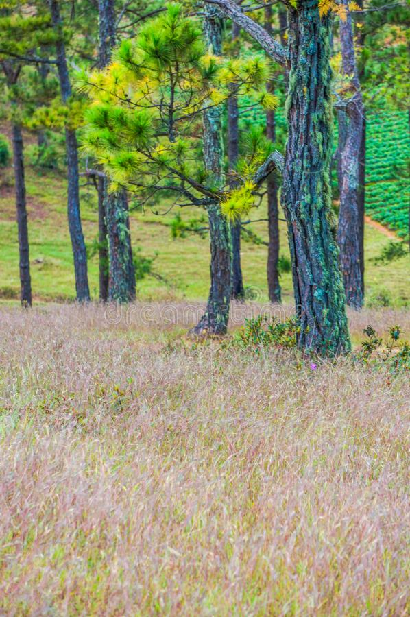 Da lat, lam dong, Vietnam- feb 12, 2017:The beautyful landscape of da lat city, pinkgrass field on the pine hill, the grass bbloo royalty free stock images