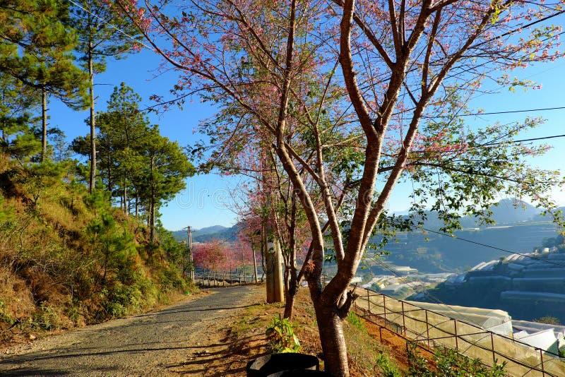 DA-Lat, Vietnam im Frühjahr, Reihe des Kirschblütenbaums auf Straße stockfoto