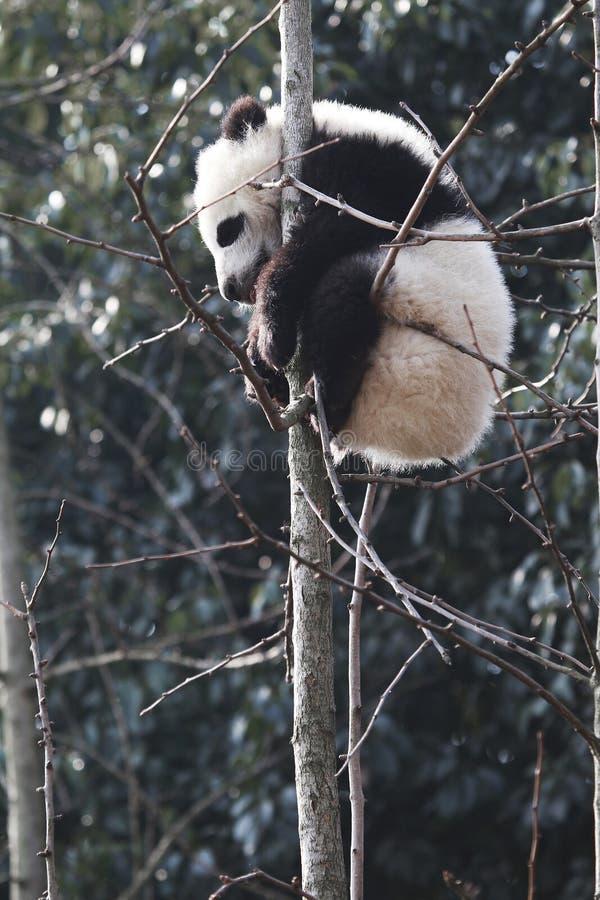 ?? da panda foto de stock royalty free