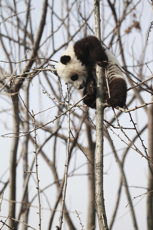 ?? da panda fotografia de stock