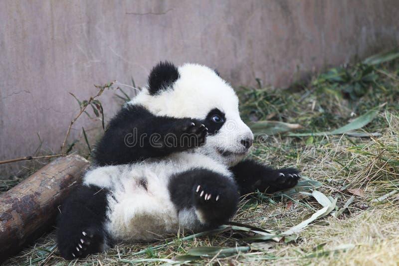 ?? da panda do bebê imagem de stock royalty free