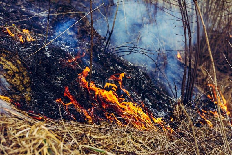 Da queimadura da grama seca, os insetos, os ouri?os, e os coelhos s?o matados fotos de stock royalty free