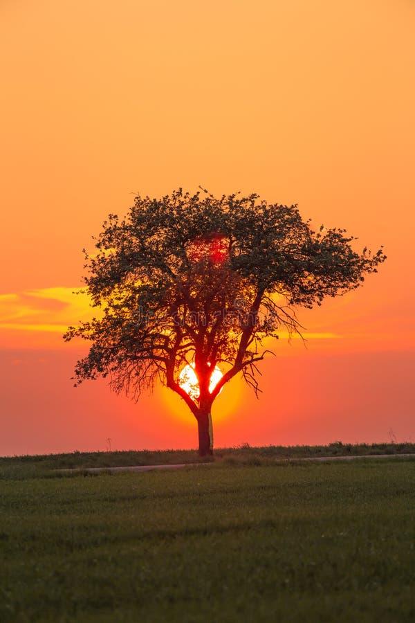 Da solo albero sul prato al tramonto con il sole dietro l'albero fotografia stock libera da diritti