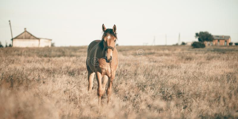 Da solo cavallo che pasce sul prato nel tramonto fotografia stock
