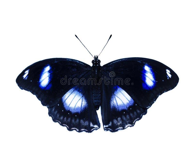 Da terra comum borboleta eggfly, bolina de Hypolimnas, isolado no fundo branco fotografia de stock