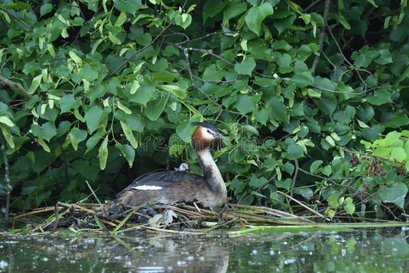 Dabchick kuifzitting in het nest met baby op de meerstruik stock fotografie