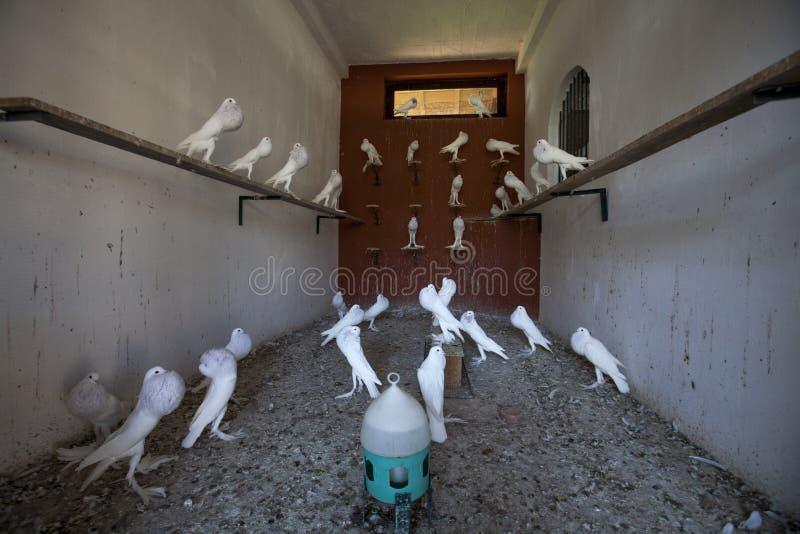 Dachboden voll von weißen Tauben stockfotografie