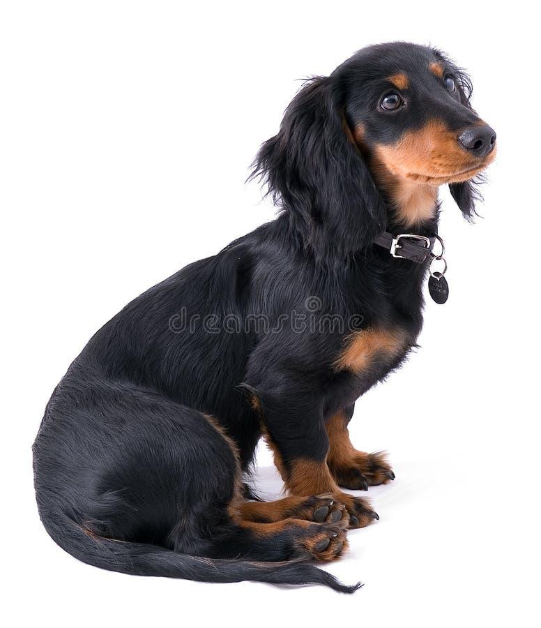 dachshound συνεδρίαση κουταβιών στοκ εικόνα με δικαίωμα ελεύθερης χρήσης